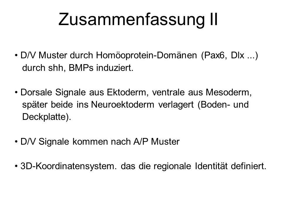 Zusammenfassung II D/V Muster durch Homöoprotein-Domänen (Pax6, Dlx ...) durch shh, BMPs induziert.