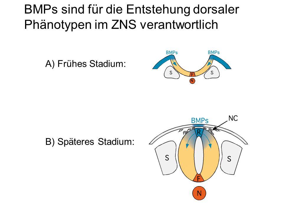BMPs sind für die Entstehung dorsaler Phänotypen im ZNS verantwortlich