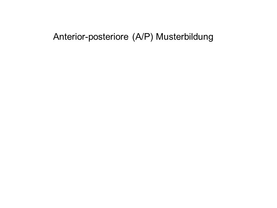 Anterior-posteriore (A/P) Musterbildung