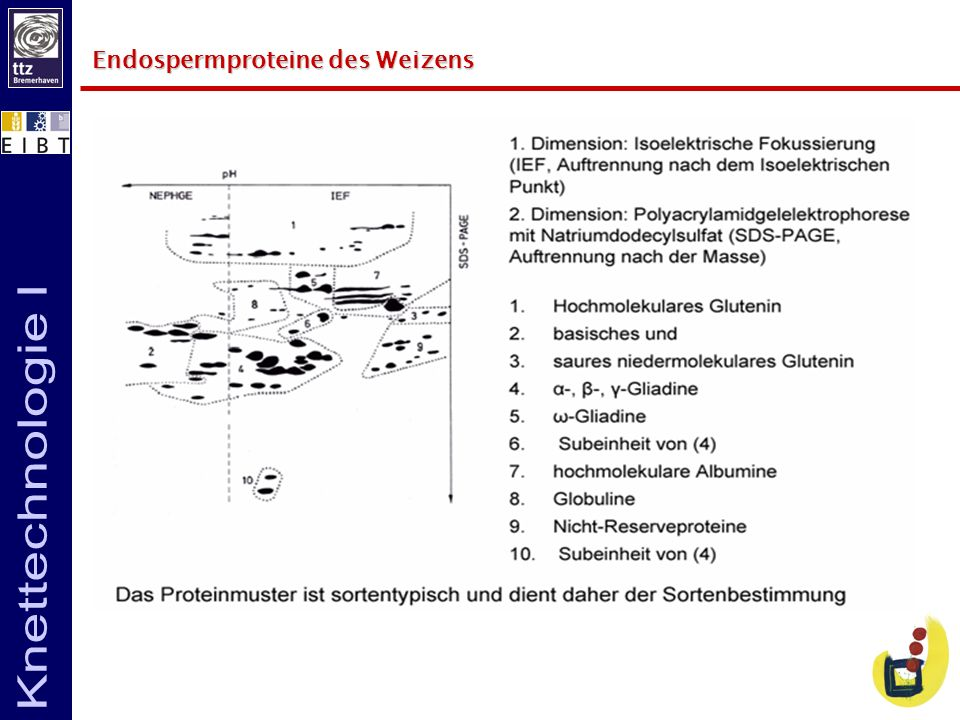 Endospermproteine des Weizens