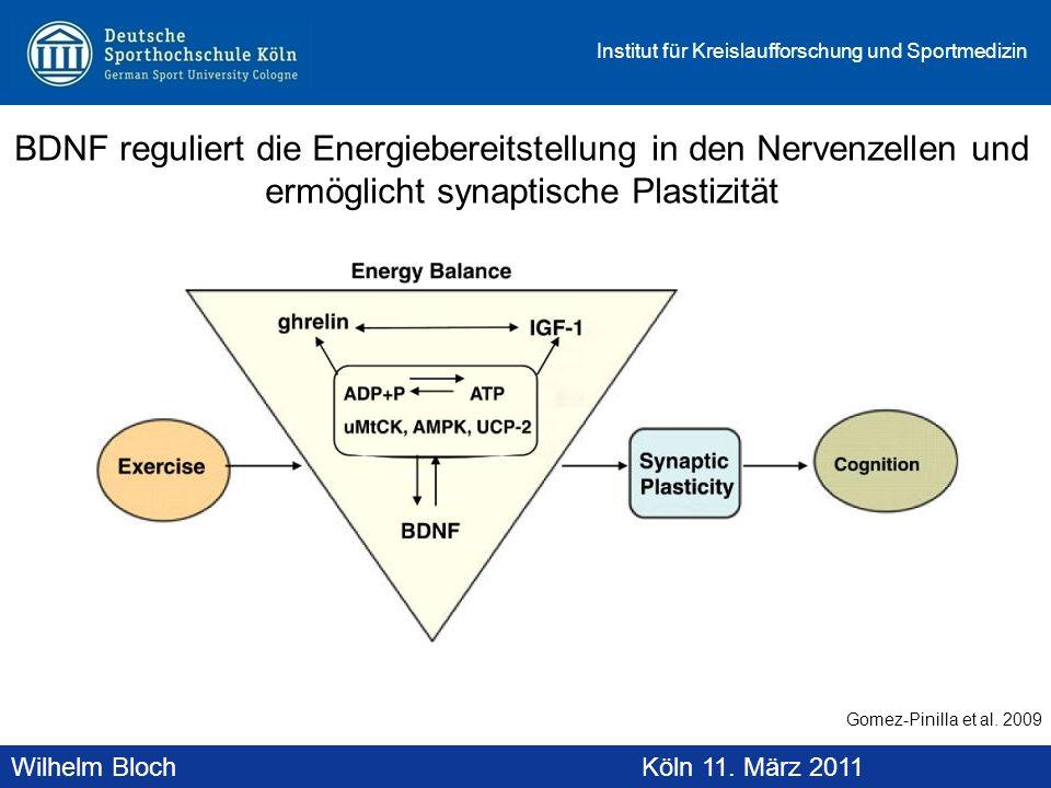 BDNF reguliert die Energiebereitstellung in den Nervenzellen und ermöglicht synaptische Plastizität
