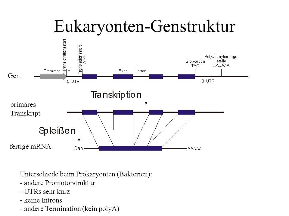 Eukaryonten-Genstruktur