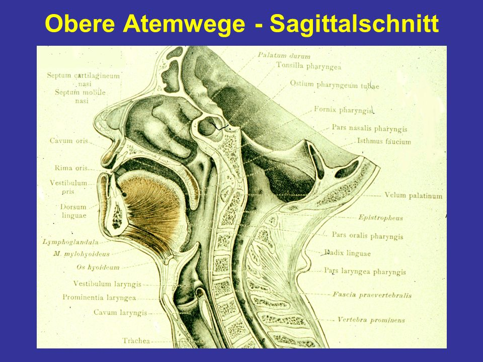 Obere Atemwege - Sagittalschnitt