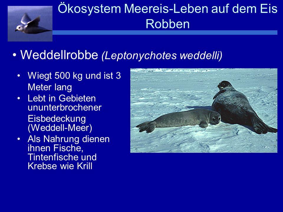 Ökosystem Meereis-Leben auf dem Eis Robben