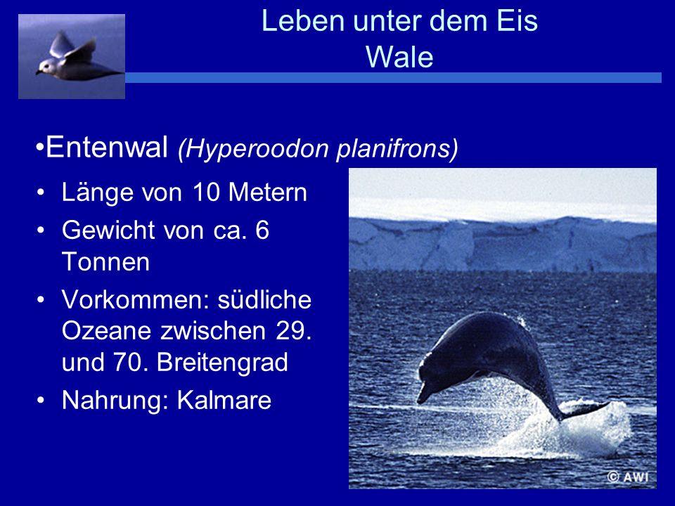 Leben unter dem Eis Wale