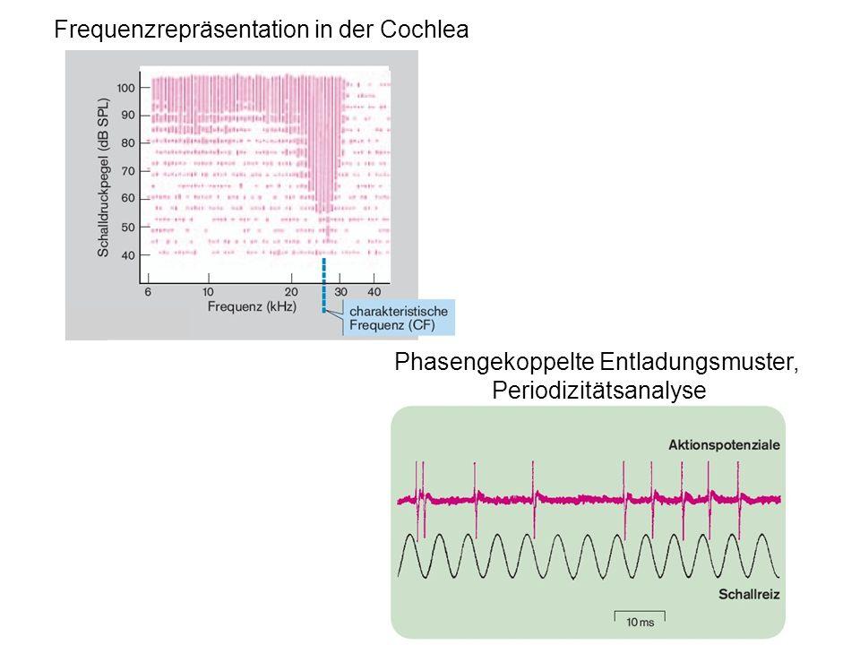 Frequenzrepräsentation in der Cochlea