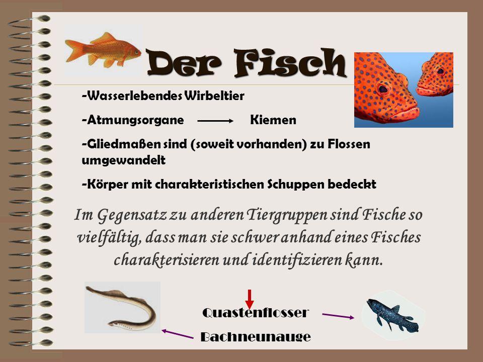 Der Fisch Wasserlebendes Wirbeltier. Atmungsorgane Kiemen. Gliedmaßen sind (soweit vorhanden) zu Flossen umgewandelt.