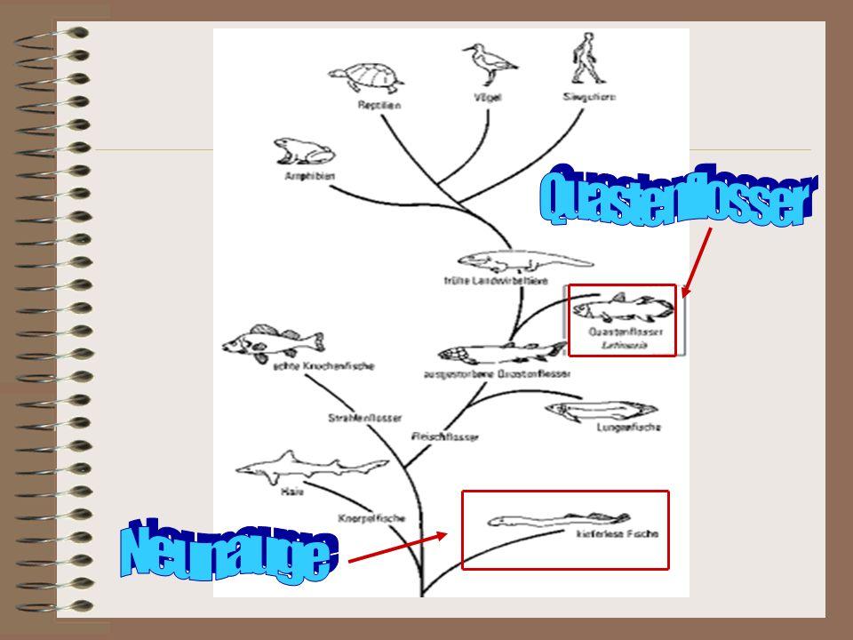 Entwicklungsbaum Quastenflosser Neunauge