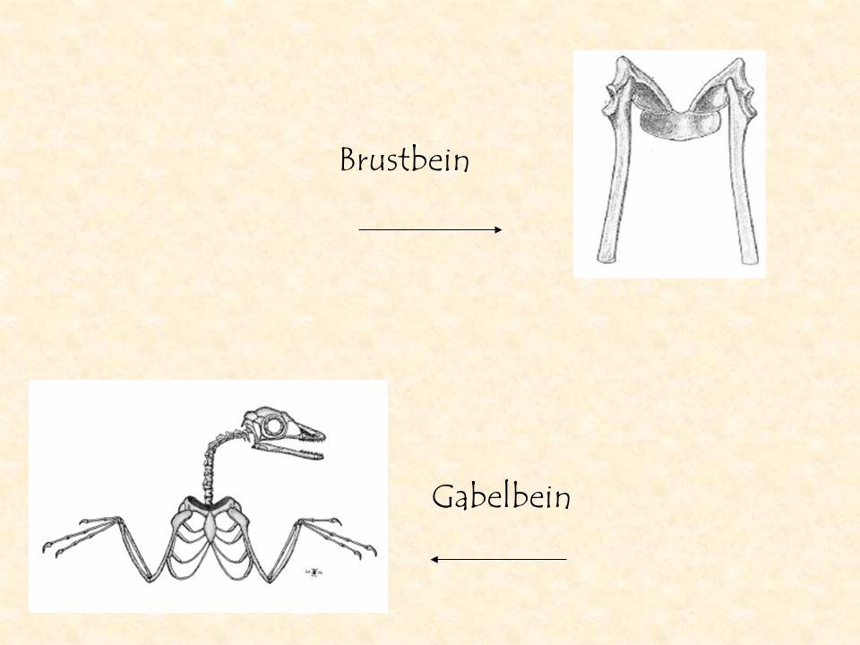 Brustbein Gabelbein