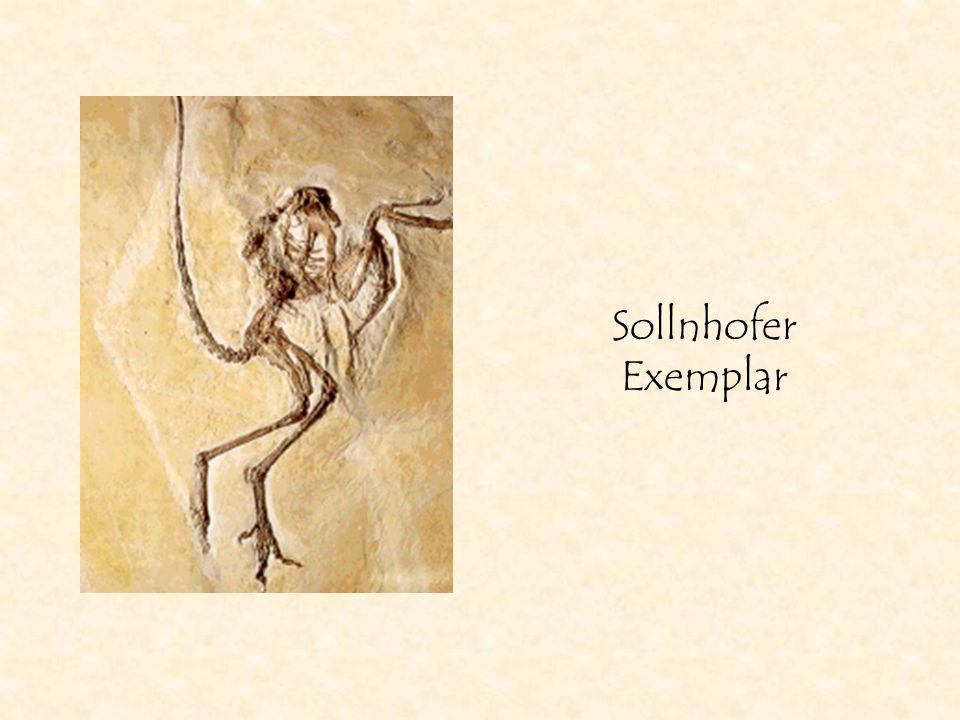 Sollnhofer Exemplar