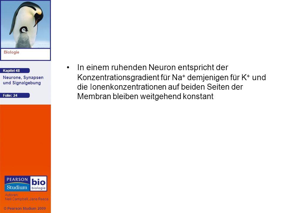 In einem ruhenden Neuron entspricht der Konzentrationsgradient für Na+ demjenigen für K+ und die Ionenkonzentrationen auf beiden Seiten der Membran bleiben weitgehend konstant