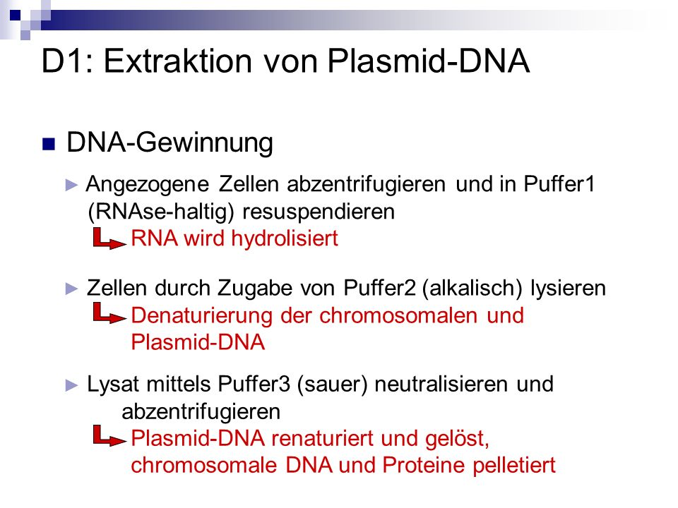 D1: Extraktion von Plasmid-DNA