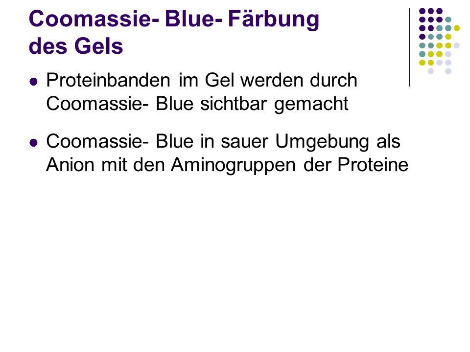 Coomassie- Blue- Färbung des Gels