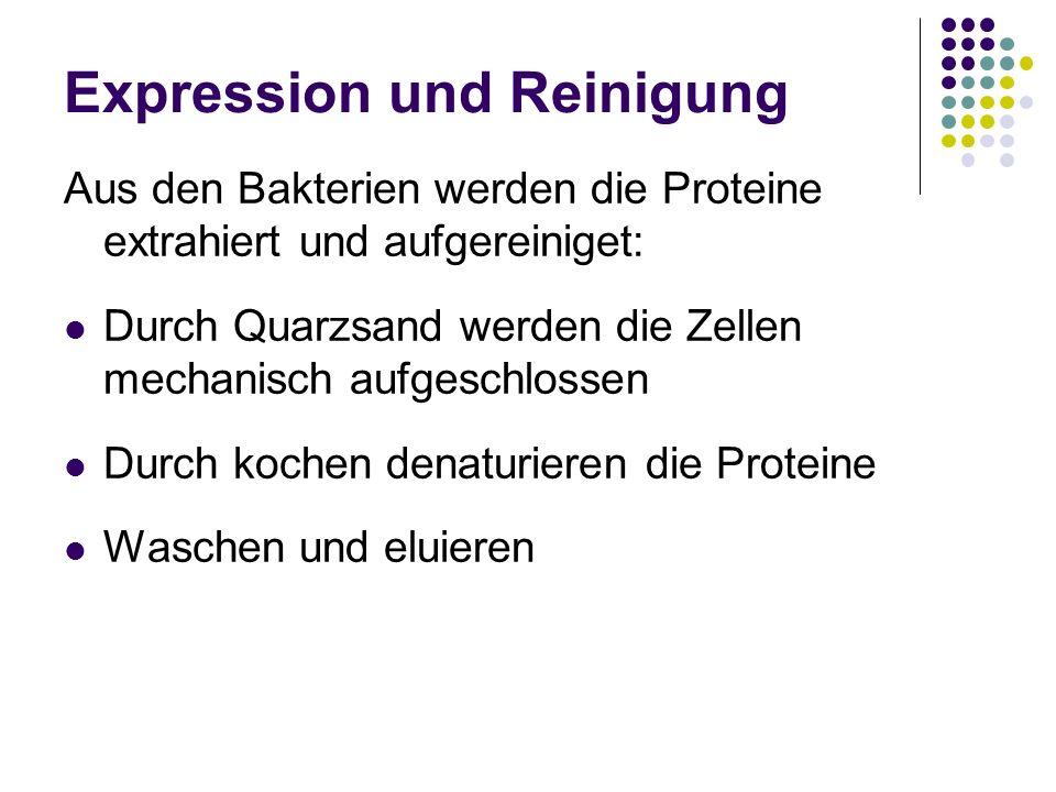 Expression und Reinigung