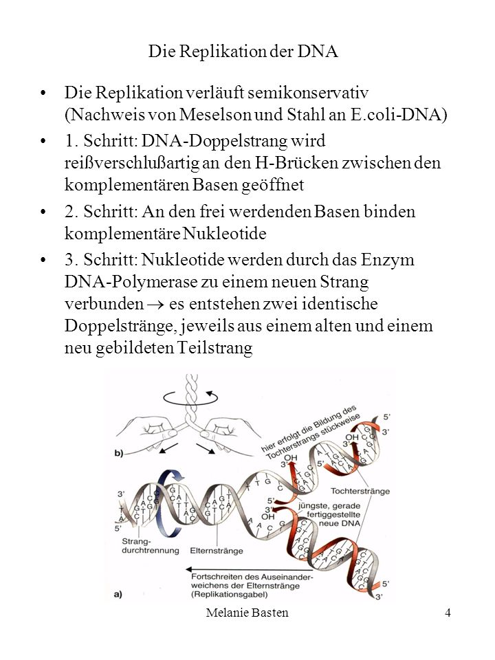 Die Replikation der DNA