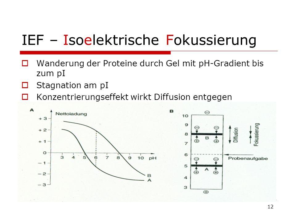 IEF – Isoelektrische Fokussierung