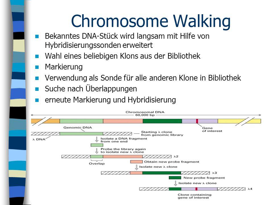Chromosome Walking Bekanntes DNA-Stück wird langsam mit Hilfe von Hybridisierungssonden erweitert. Wahl eines beliebigen Klons aus der Bibliothek.