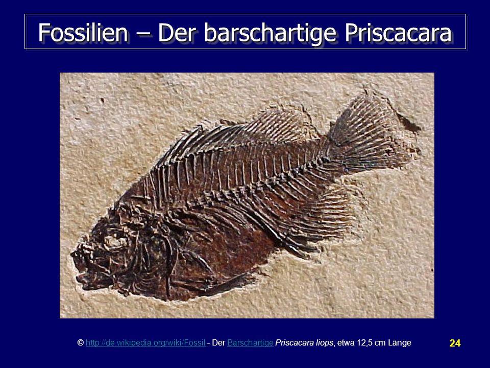 Fossilien – Der barschartige Priscacara