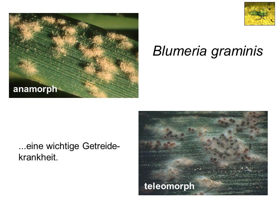 Blumeria graminis anamorph ...eine wichtige Getreide- krankheit.
