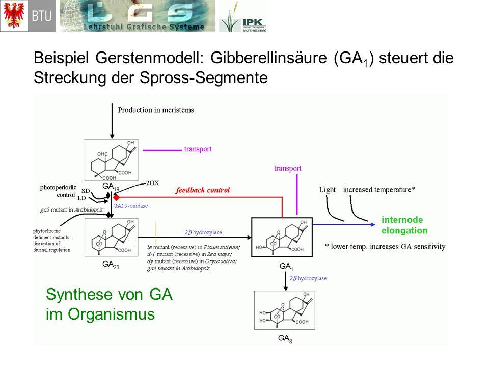 Beispiel Gerstenmodell: Gibberellinsäure (GA1) steuert die Streckung der Spross-Segmente