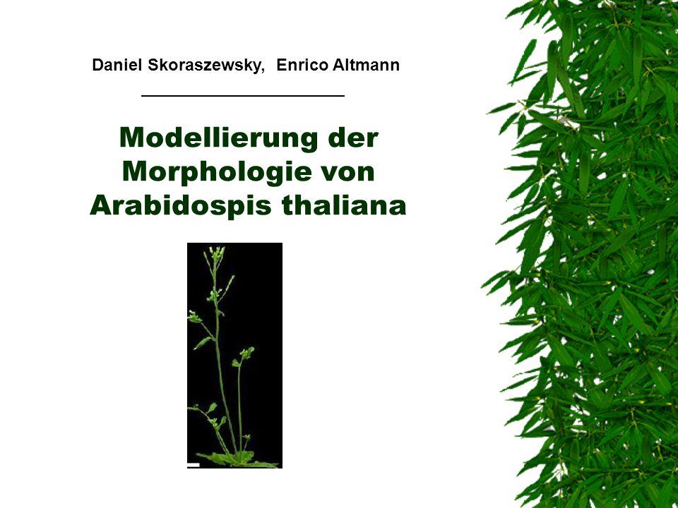 Modellierung der Morphologie von Arabidospis thaliana