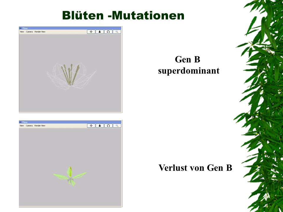 Blüten -Mutationen Gen B superdominant Verlust von Gen B