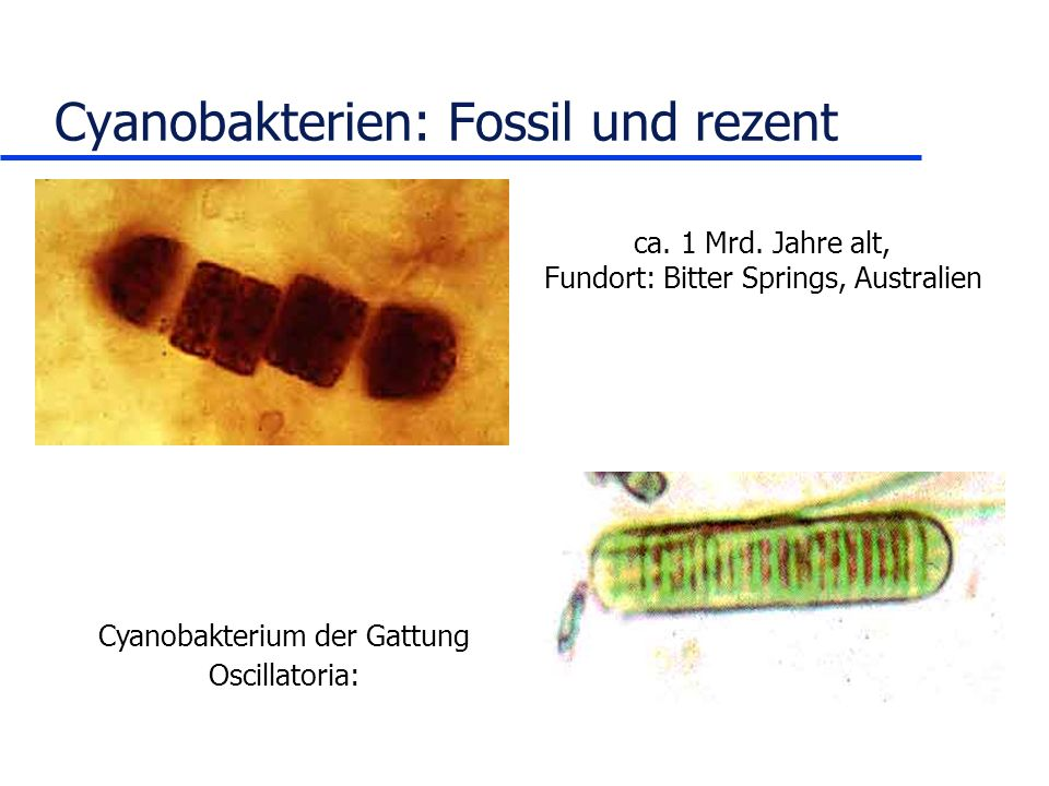 Cyanobakterien: Fossil und rezent