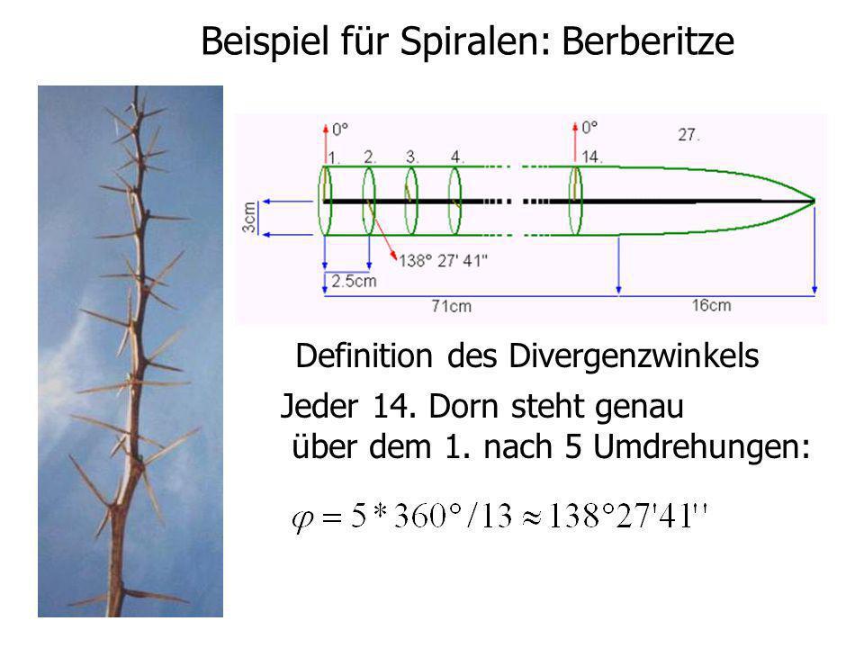 Beispiel für Spiralen: Berberitze