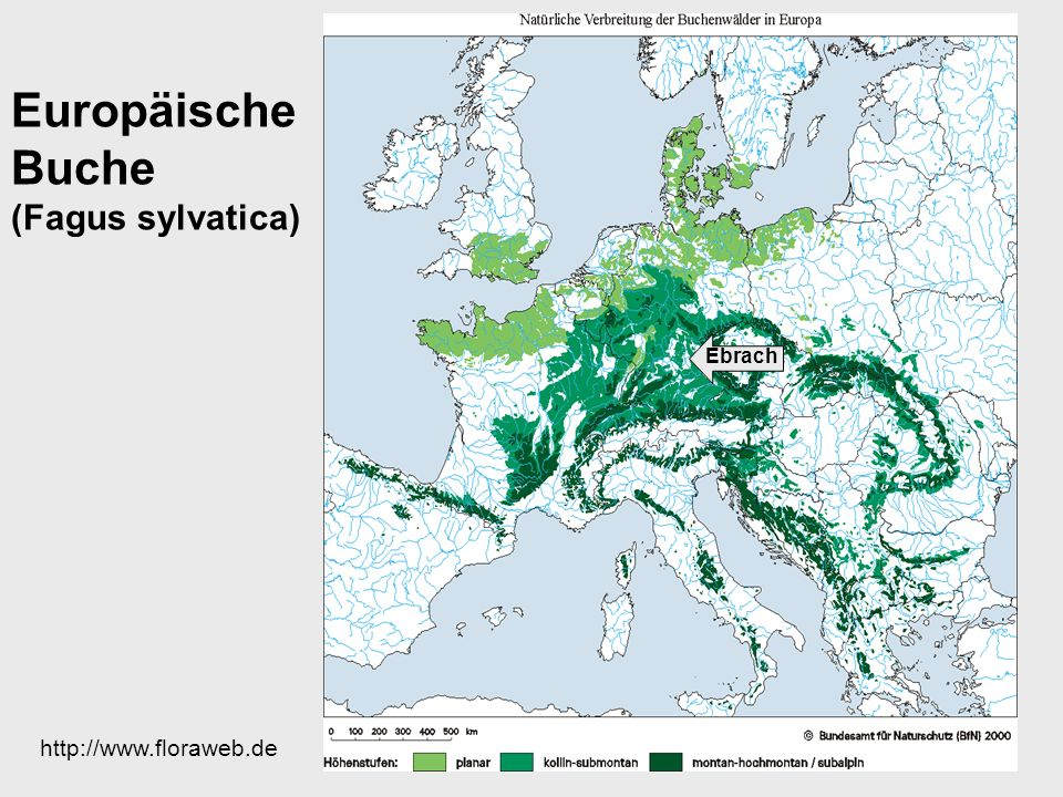 Europäische Buche (Fagus sylvatica)