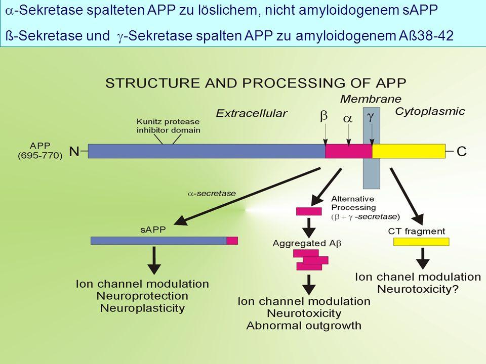 -Sekretase spalteten APP zu löslichem, nicht amyloidogenem sAPP