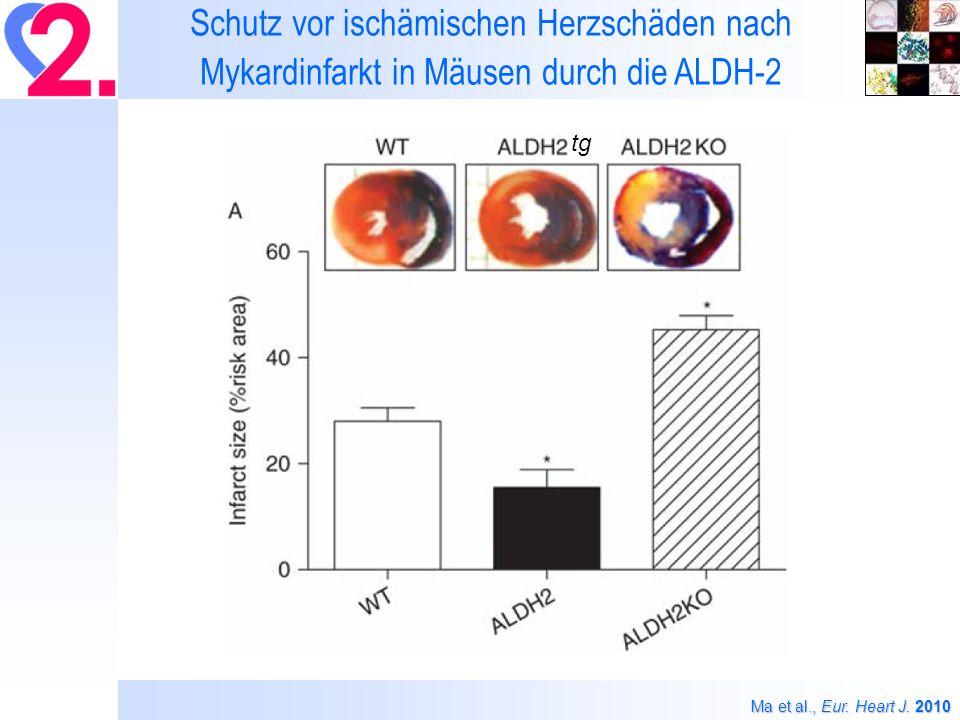 Schutz vor ischämischen Herzschäden nach Mykardinfarkt in Mäusen durch die ALDH-2
