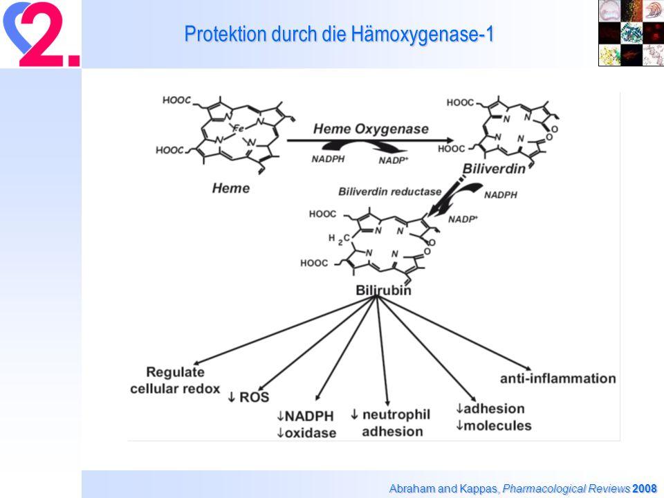 Protektion durch die Hämoxygenase-1