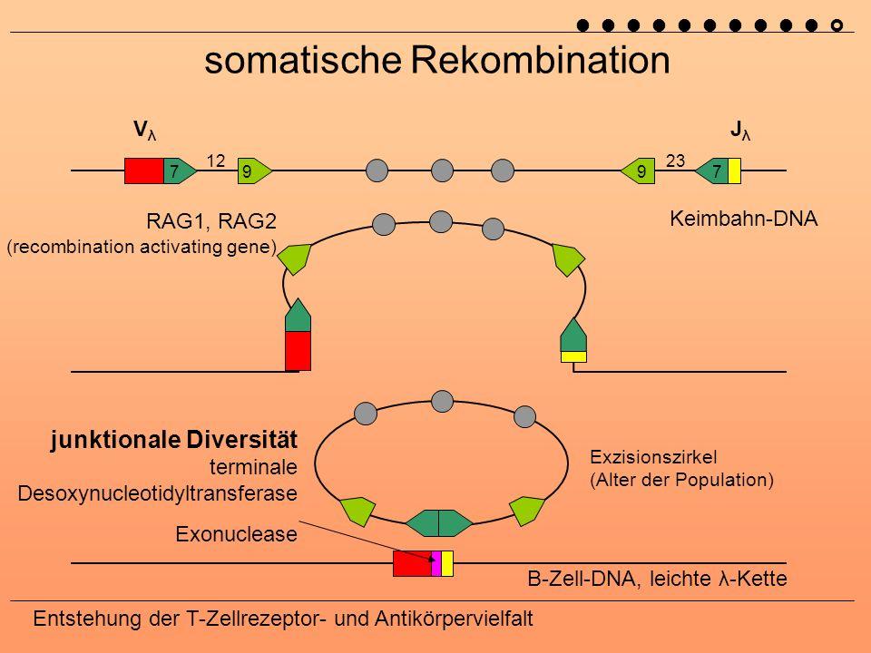somatische Rekombination