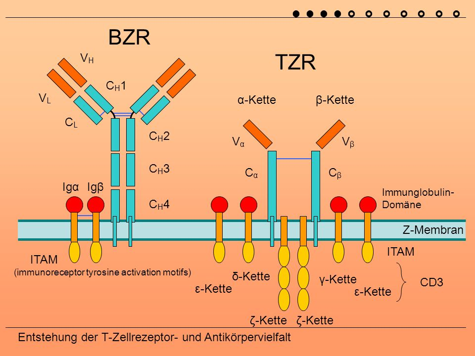BZR TZR VH CH1 VL α-Kette β-Kette CL CH2 Vα Vβ CH3 Cα Cβ Igα Igβ CH4