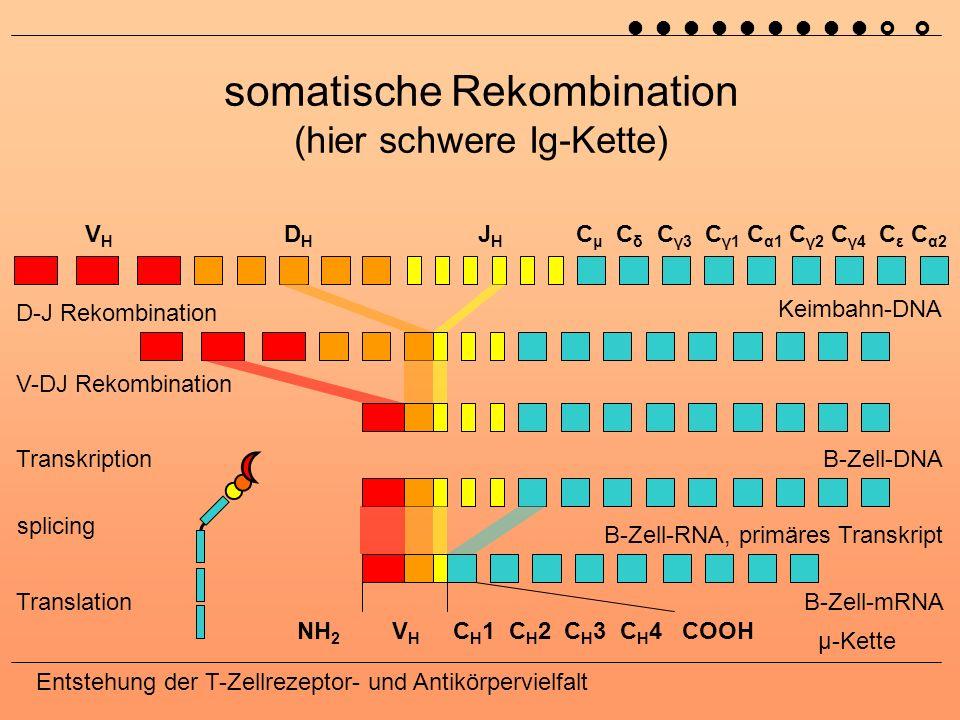 somatische Rekombination (hier schwere Ig-Kette)