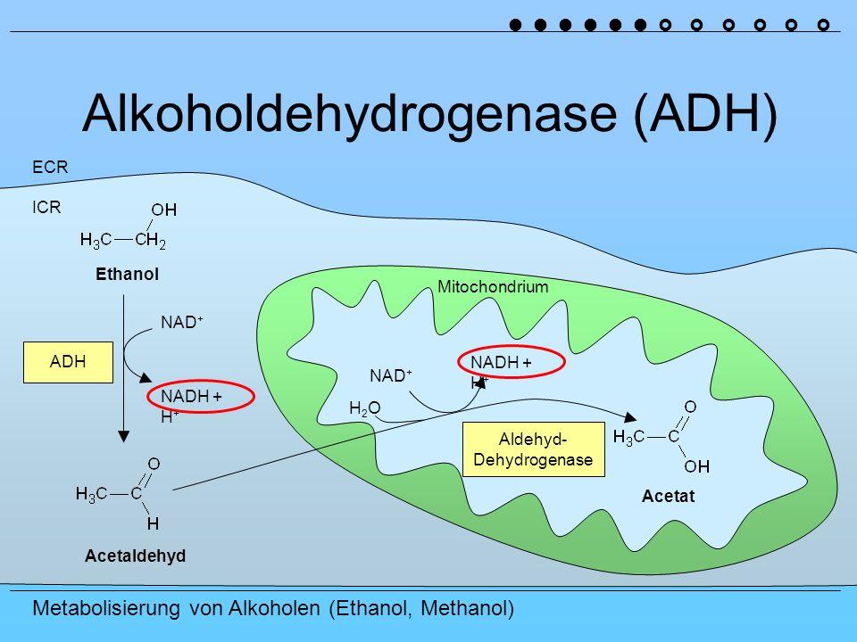 Alkoholdehydrogenase (ADH)