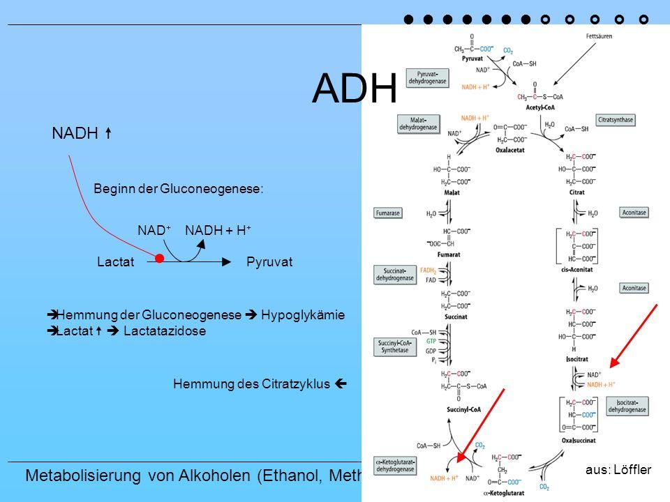 ADH NADH  ˜ ˜ ˜ ˜ ˜ ˜ ˜ › › › › › Beginn der Gluconeogenese: NAD+