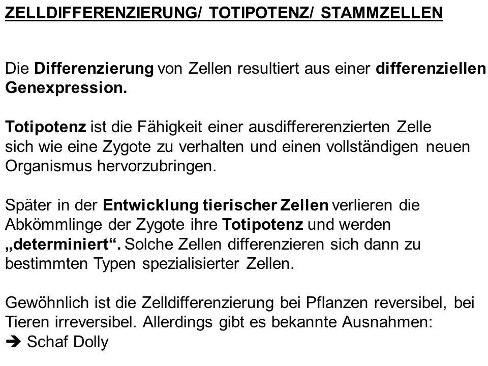 ZELLDIFFERENZIERUNG/ TOTIPOTENZ/ STAMMZELLEN