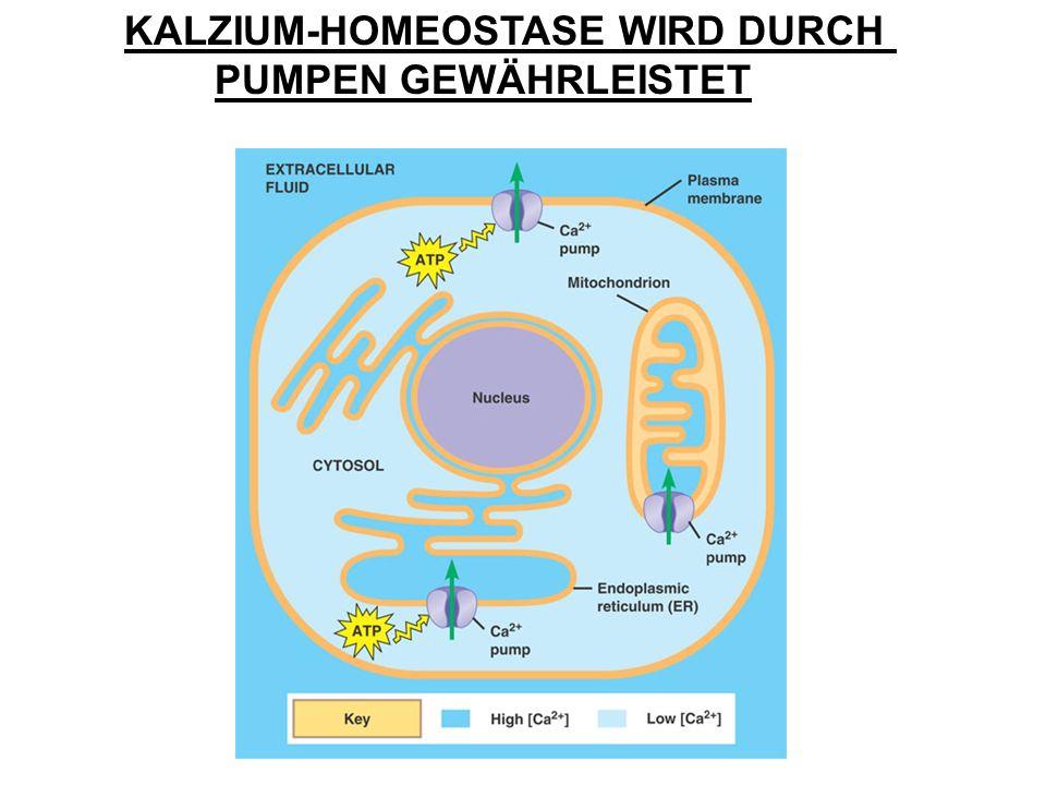 KALZIUM-HOMEOSTASE WIRD DURCH