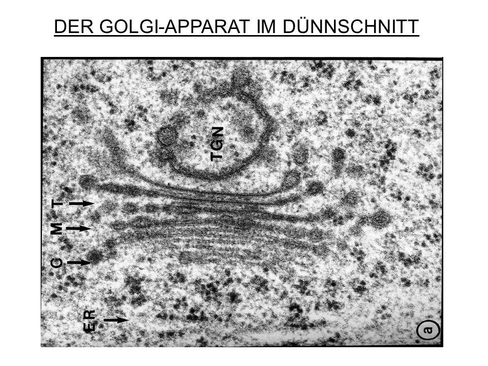 DER GOLGI-APPARAT IM DÜNNSCHNITT