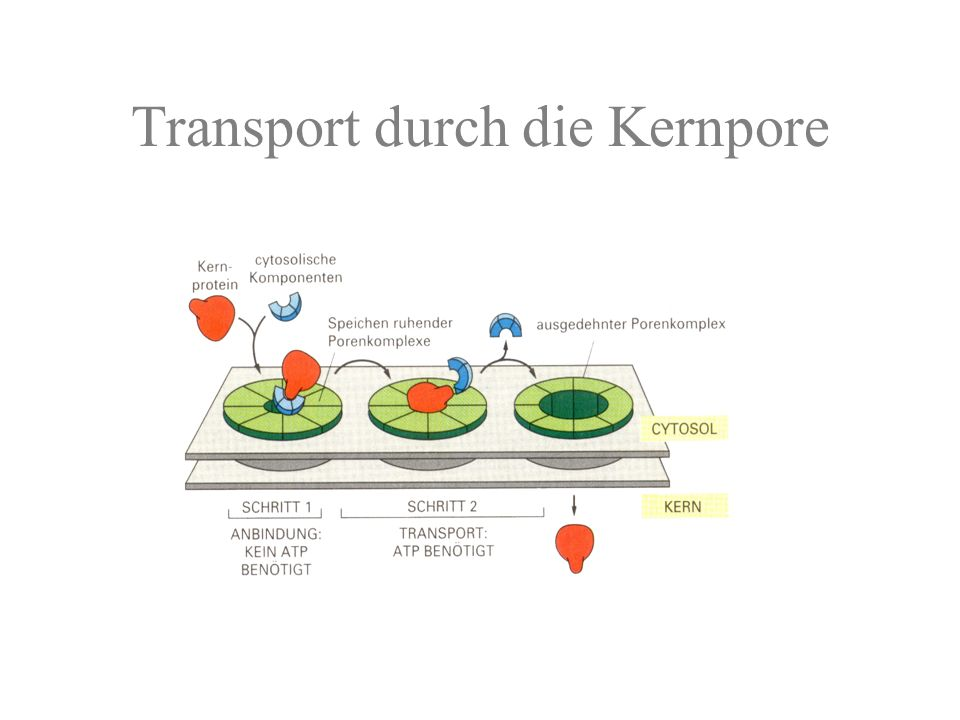 Transport durch die Kernpore