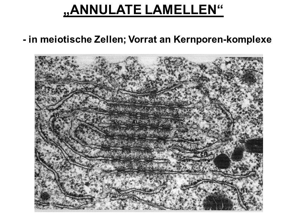 """""""ANNULATE LAMELLEN - in meiotische Zellen; Vorrat an Kernporen-komplexe"""