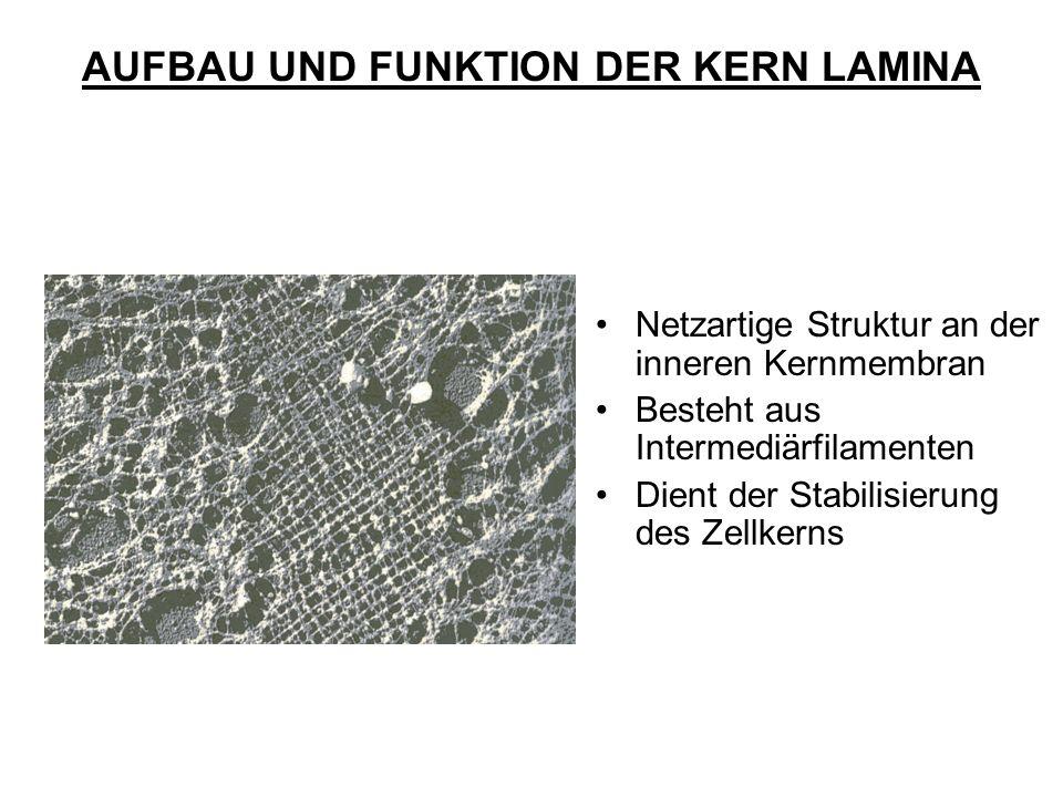 AUFBAU UND FUNKTION DER KERN LAMINA