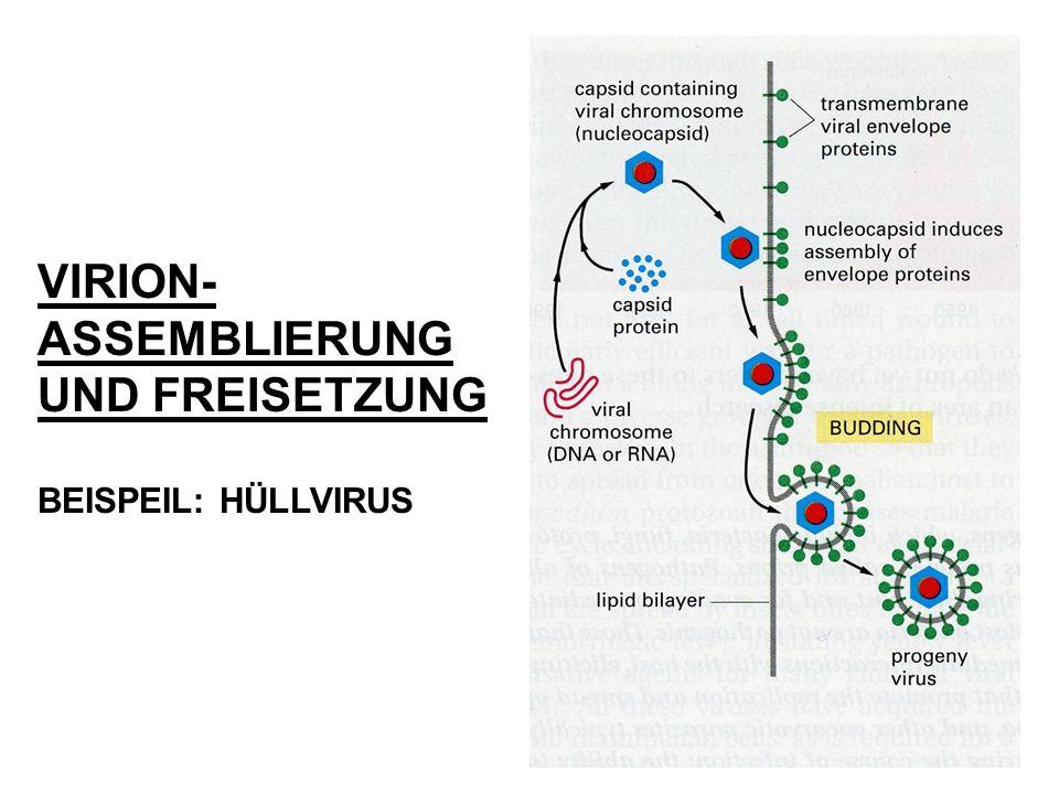 VIRION- ASSEMBLIERUNG UND FREISETZUNG BEISPEIL: HÜLLVIRUS
