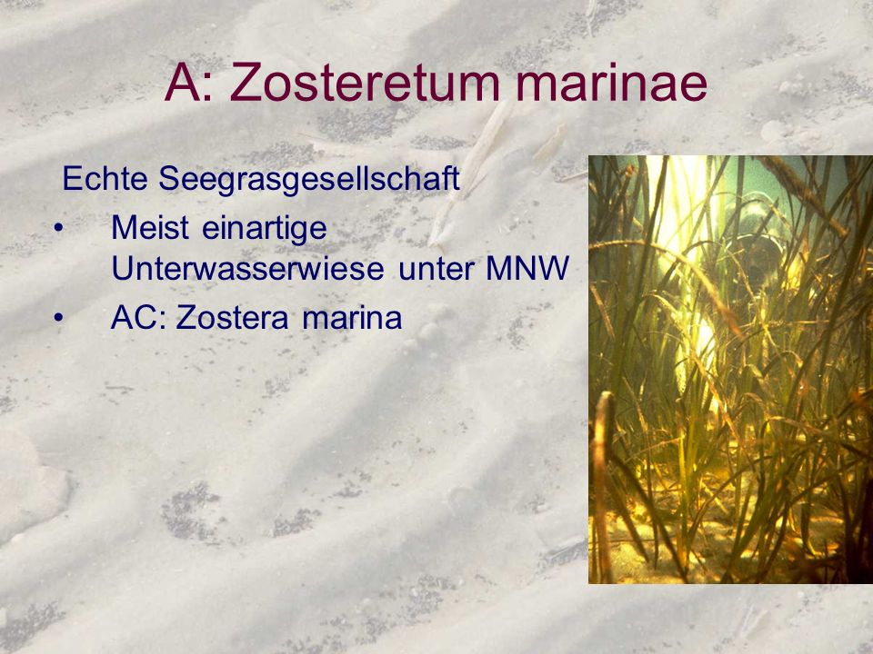A: Zosteretum marinae Echte Seegrasgesellschaft