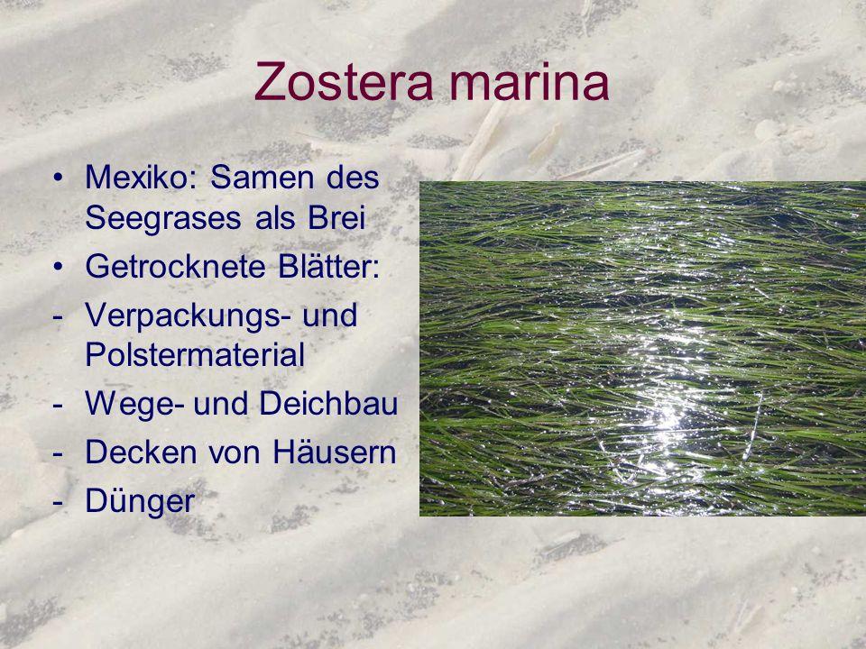 Zostera marina Mexiko: Samen des Seegrases als Brei