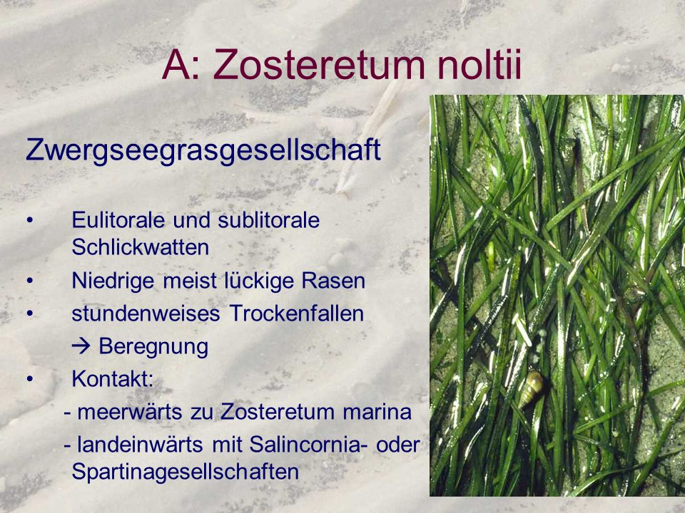 A: Zosteretum noltii Zwergseegrasgesellschaft