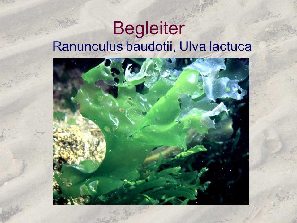 Begleiter Ranunculus baudotii, Ulva lactuca