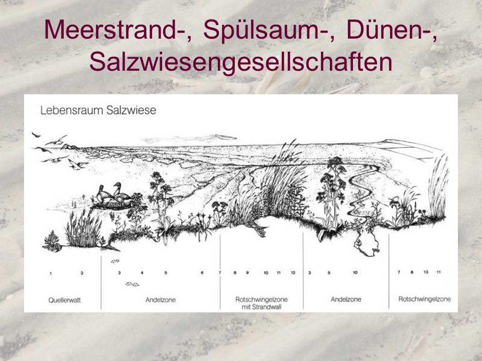 Meerstrand-, Spülsaum-, Dünen-, Salzwiesengesellschaften