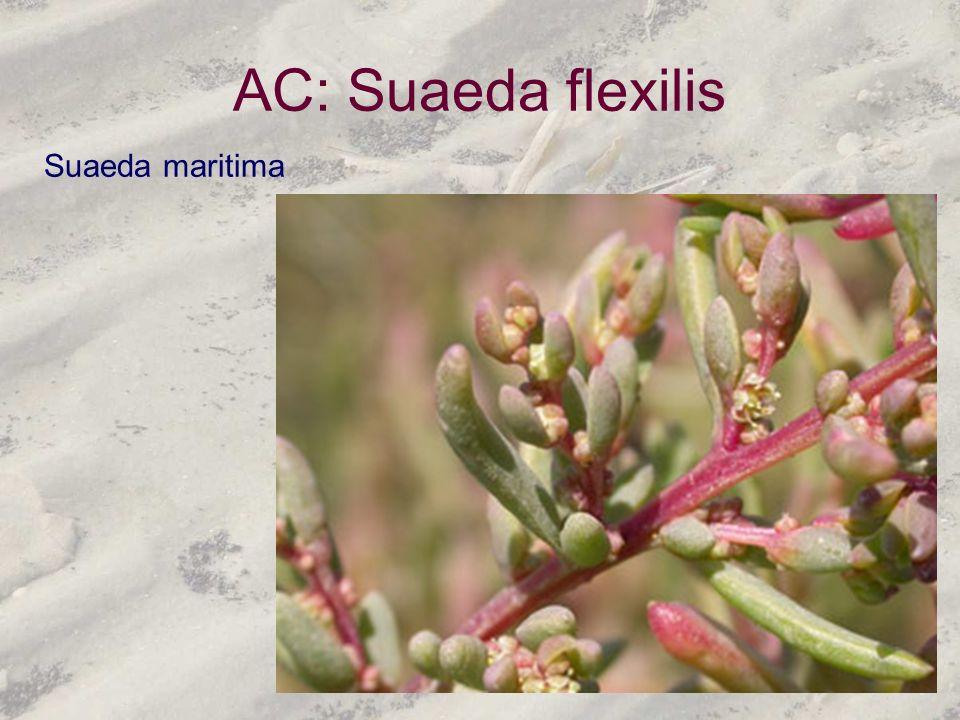 AC: Suaeda flexilis Suaeda maritima